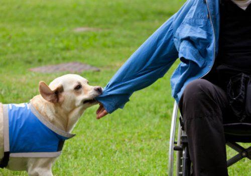 Labrador aiuta disabile a togliere la felpa